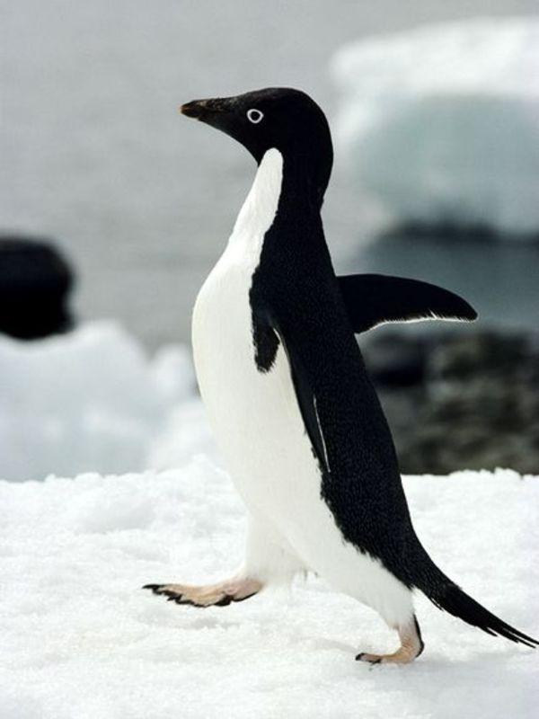 Mosh cu sepultura si pinguini video - Pinguini di natale immagini ...