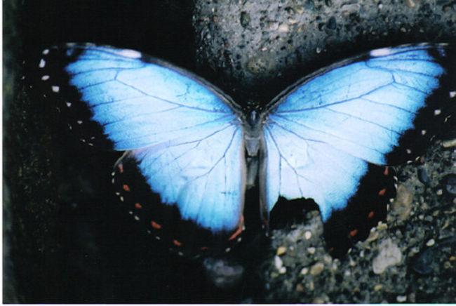 Poze Poze Akral Necrosis - fluture